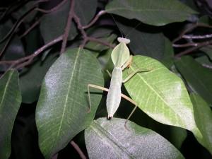 R. basalis
