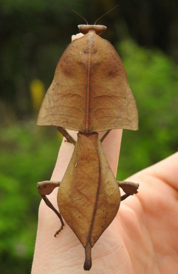 truncata adult female