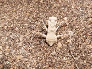 Desert Mantis