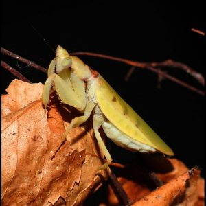 Parymenopus davisoni