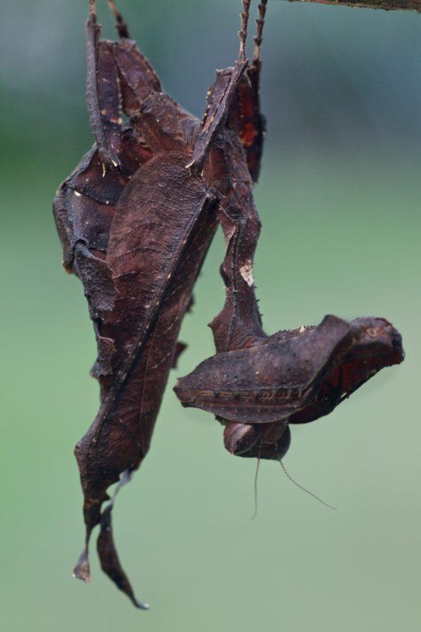 acanthops