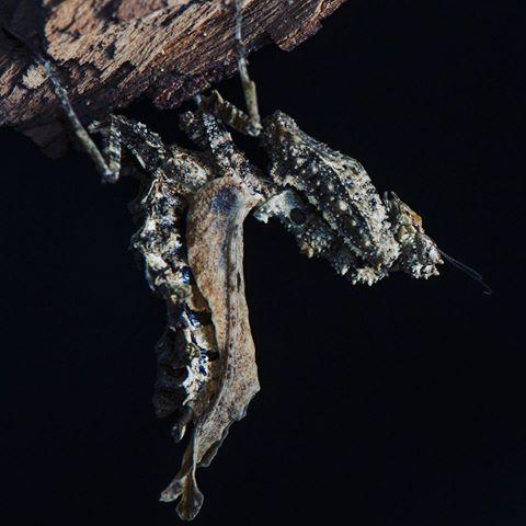 pseudoacanthops adult female