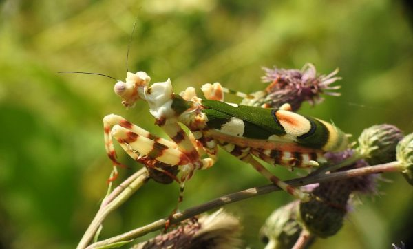 chlidonoptera sp. female