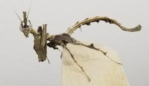 dragon mantis