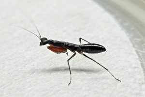 Ant mantis
