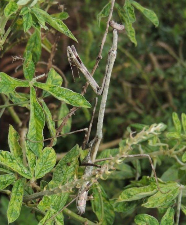 Euchomenella heteroptera