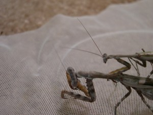 Budwing mantids mating