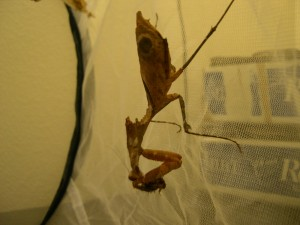Dead Leaf Mantid