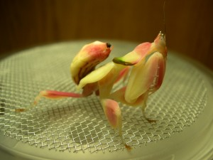 Sub adult female orchid mantis
