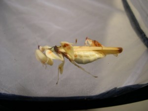 Orchid mantids mating