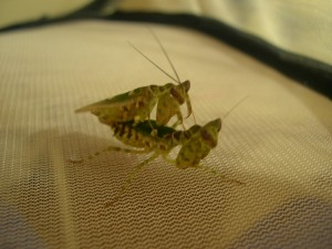 C. gemmatus mating