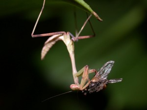 Hierodula grandis nymph